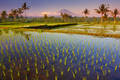 rice fields, bali, water, volcano, highlands, reflection, culture, indonesia, sunset, Batur