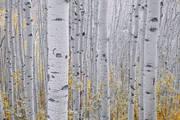 aspens, Colorado, fall, San Juan, mountains, Telluride, Ouray, vertical boles, etching, high pass