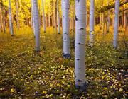 aspens, colorado, aspen trees, autumn, kenosha pass, fall, bark, forest, leaves