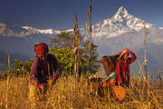 harvest,annapurna,sanctuary,dhampus,nepal,machapuchare,culture,himalaya,workers,baskets,sickle,farming,fields