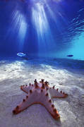 tsoi lik,starfish,underwater,papua new guinea,new ireland province, kavieng