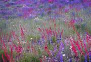 Telluride, wildflowers, flowers, Ridgway, Ouray, Colorado, Penstemon, Lupine
