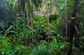 Apo Island Rainforest