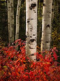 Aspens and Autumn Foliage