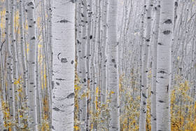 aspens, Colorado, fall, San Juan, mountains, Telluride, Ouray, vertical boles, etching, high pass