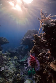 Lion Fish Sunstar