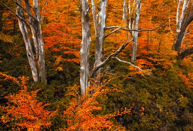 perito moreno, patagonia fall, autumn, colors, lenga, lire, trees