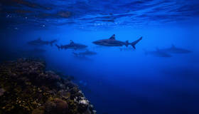 sharks, underwater, uepi, diving, snorkeling, charapoana, marovo, solomon islands, s