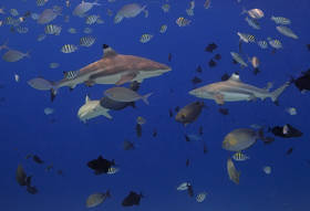raja ampat, sharks, indonesia, underwater, diving, snorkeling