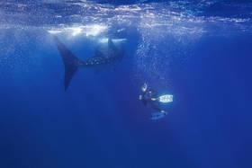 whale shark, isla mujeres, snorkeler, encounter, underwater, tiburón ballena, diving, caribbean