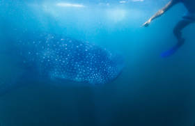 whale shark, donsol, philippines, underwater photography,