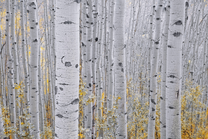 aspens, Colorado, fall, San Juan, mountains, Telluride, Ouray, vertical boles, etching, high pass , photo