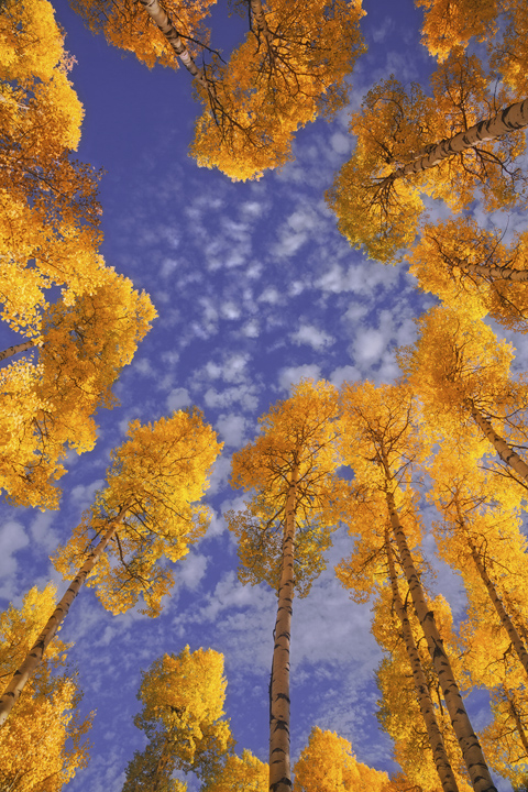 aspens, fall, Colorado, sky, glow, clouds, rocky mountains, view up, photo