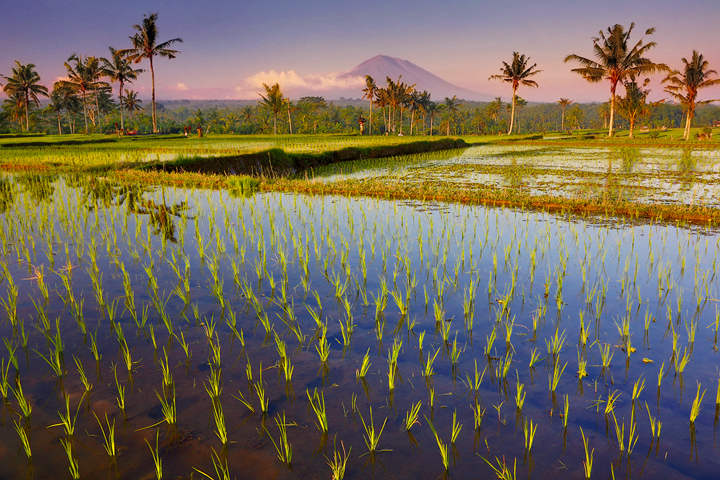 rice fields, bali, water, volcano, highlands, reflection, culture, indonesia, sunset, Batur, photo