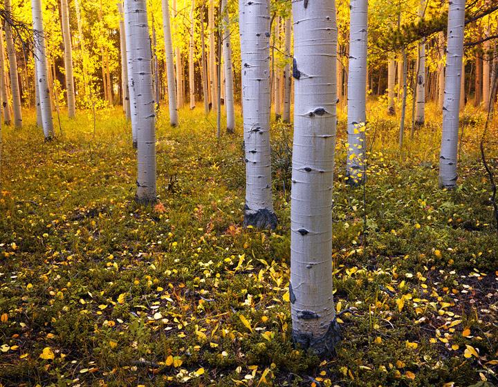 aspens, colorado, aspen trees, autumn, kenosha pass, fall, bark, forest, leaves, photo