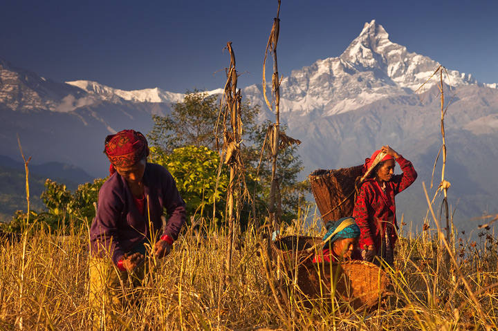 Thespectacular harvest colors of November in the foothills of the Annapurna Range, Nepal. The high peak in the background...