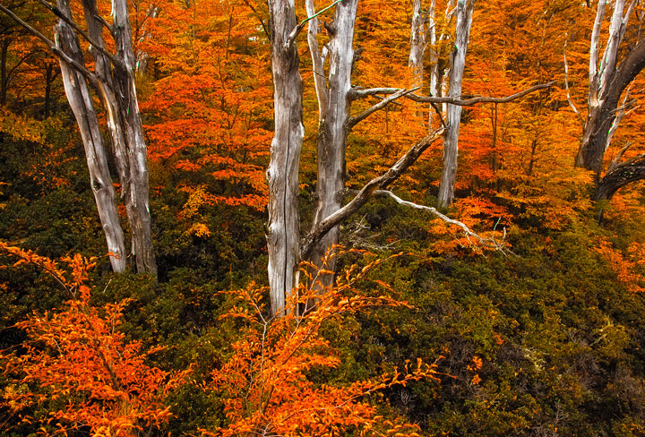 perito moreno, patagonia fall, autumn, colors, lenga, lire, trees, photo