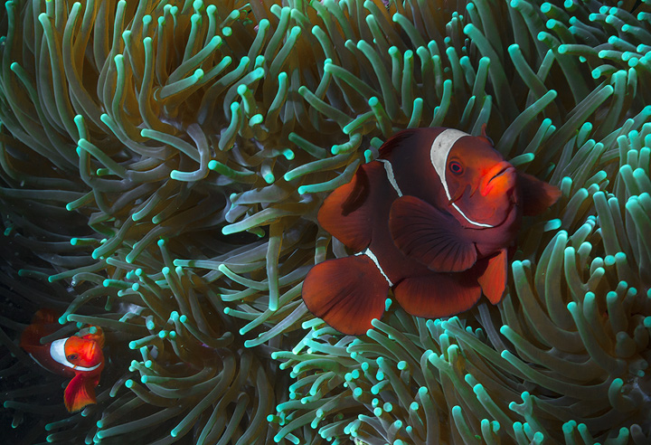clown fish, anemone, raja ampat, underwater, diving, snorkeling, indonesia, photo