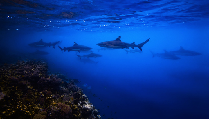 sharks, underwater, uepi, diving, snorkeling, charapoana, marovo, solomon islands, s, photo