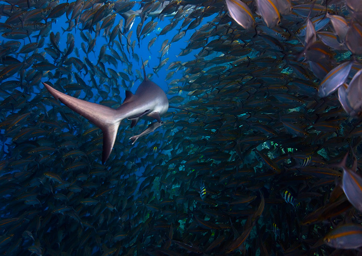 shark, underwater photography, marovo lagoon, uepi, tropical, south pacific, photo