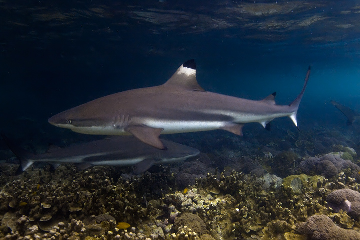 shark,underwater photo,uepi,diving,snorkeling,solomon islands,marovo, photo