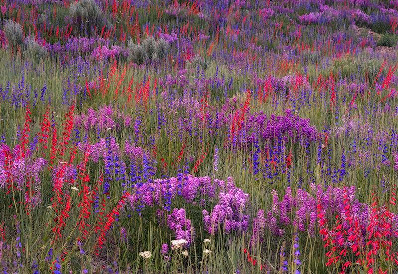 wildflowers, flowers, Colorado, Telluride, Ouray, Ridgway, penstemon, lupine, photo
