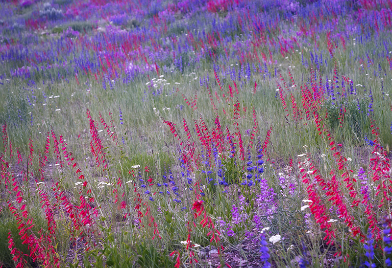 Blooming Red penstemon flowers evoked childhood thoughts of a field of peppermint candy.