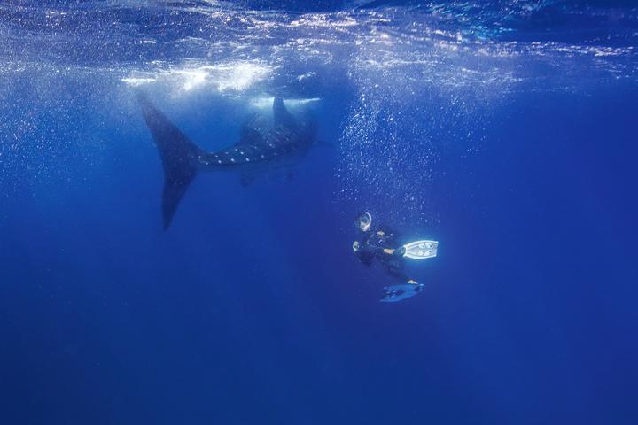 whale shark, isla mujeres, snorkeler, encounter, underwater, tiburón ballena, diving, caribbean, photo
